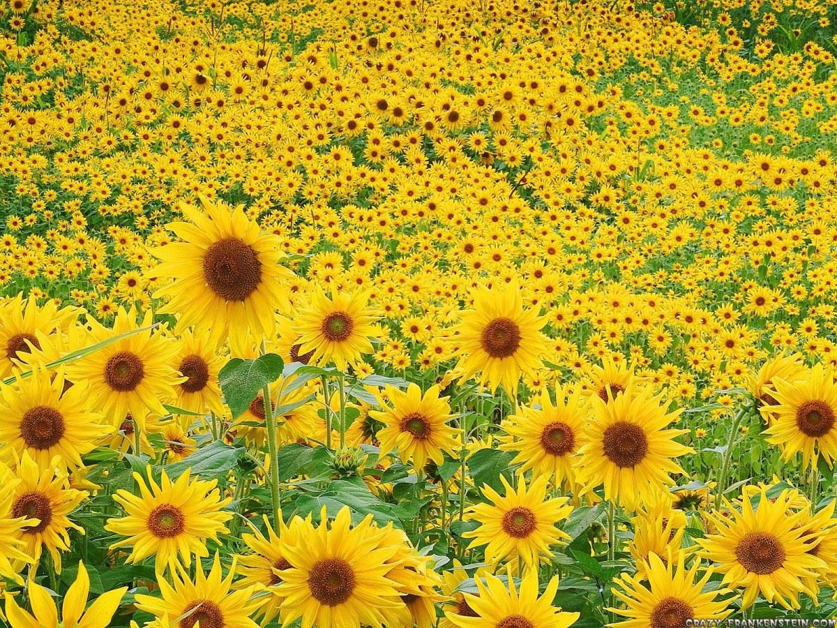 sunflowers-sunflower-seeds-24670612-1600-1200